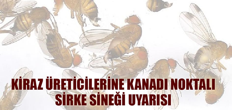 Kiraz üreticilerine kanadı noktalı sirke sineği uyarısı