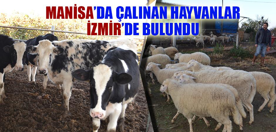 Manisa'da çalınan hayvanlar İzmir'de bulundu
