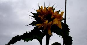 Kışın ortasında açan ayçiçeği hayrete düşürdü