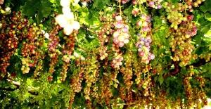 Sarıgöl'de mevsimin ilk üzümü yetişti