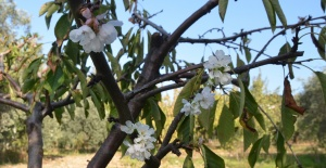 Turgutlu'da kiraz ve erik ağaçları...