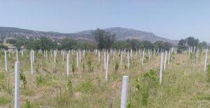 Yunusemre'de organik bağcılık gelişiyor