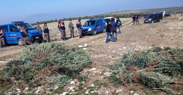 Manisa'da izinsiz dikilen 17 bin zeytin fidanı söküldü