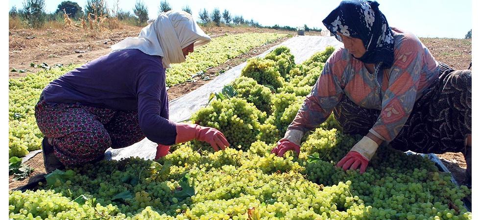 Üzüm kesim işçi ücretleri belirlendi