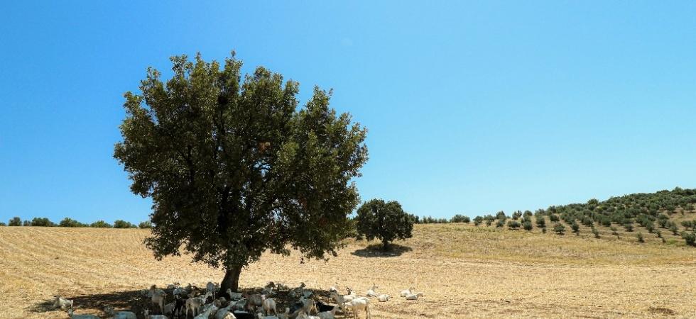Bir ağaç 50 keçiye gölge oldu