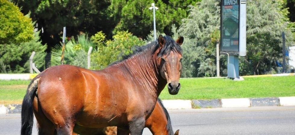 Yılkı atları şehre indi, sürücüler şaşkına döndü