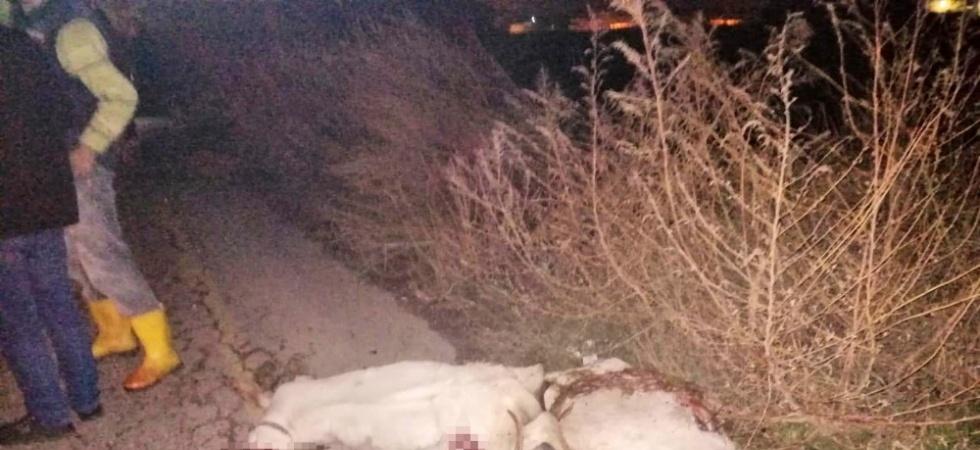 Manisa'da otomobil koyun sürüsüne çarptı