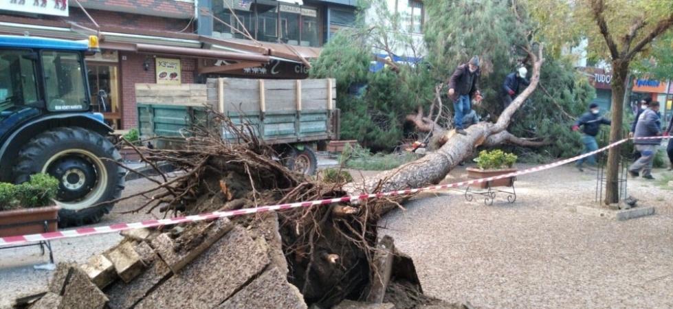 Manisa'da asırlık çam ağaçları bir bir devriliyor
