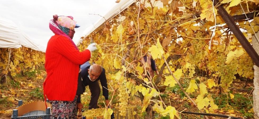 Manisa'da kış ayında üzüm hasadı