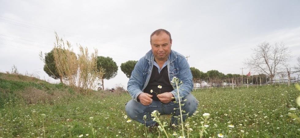 Manisa'da papatyalar açtı çiftçiler tedirgin oldu