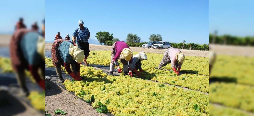 Salihli'de üzüm işçi ücretleri belirlendi