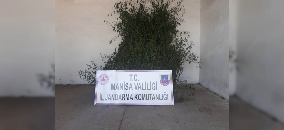 Manisa'da 496 kök kenevir ele geçirildi