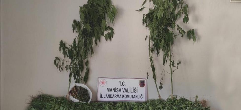 Ormanlık alanda 519 kök kenevir ve 2 kilogram kubar esrar ele geçirildi