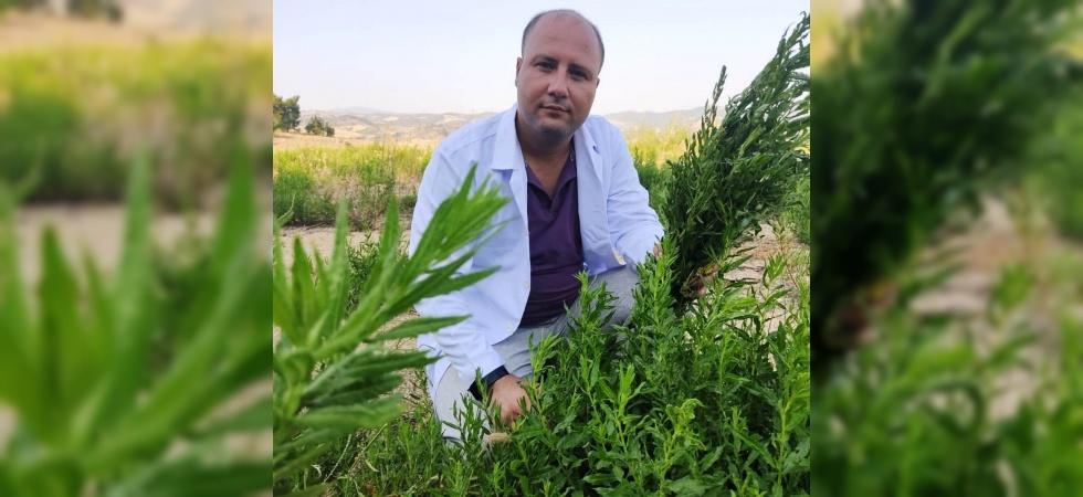 Yapışkan Andız Otu kanser hastalarının aradığı bitki oldu