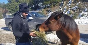 Karla kaplı Spil Dağı'ndaki yılkı atlarını elleriyle beslediler