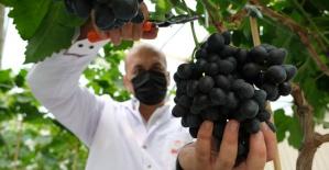 Manisa'da sezonun ilk hasadı serada yapıldı
