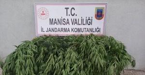 Manisa'da 43 kök kenevir bitkisi ele geçirildi