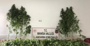 Manisa'da ormanlık alanda 287 kök kenevir ele geçirildi