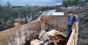 Gübre yiyen onlarca keçi telef oldu