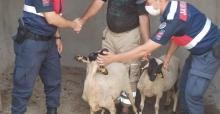 Turgutlu'da kaybolan küçükbaş hayvanları jandarma buldu